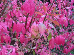 rotes Herbstlaub