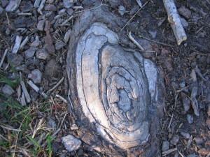 Wurzelauge, das aus dem Boden schaut